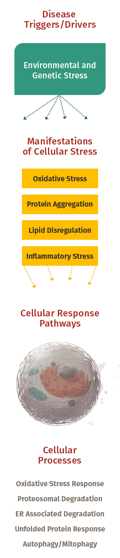 Cellular Stress