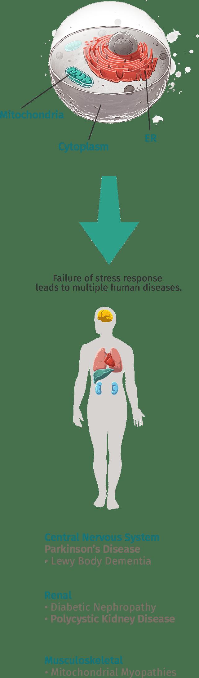 Cellular Stress Response